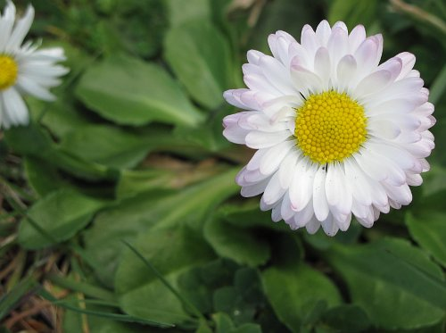 tiny daisy