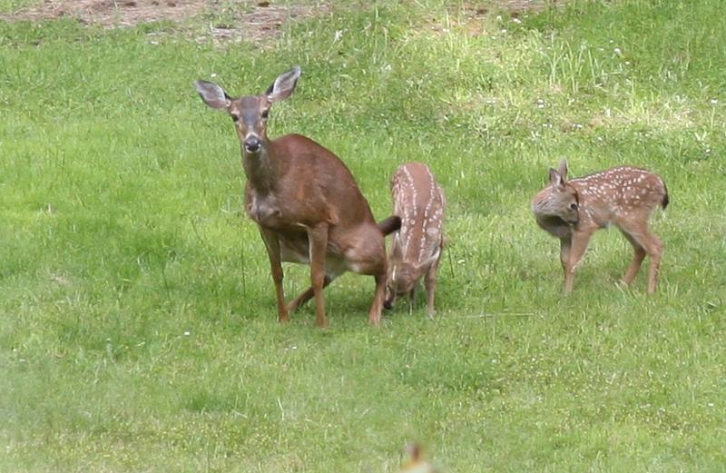 baby deer | I n f u s i o n
