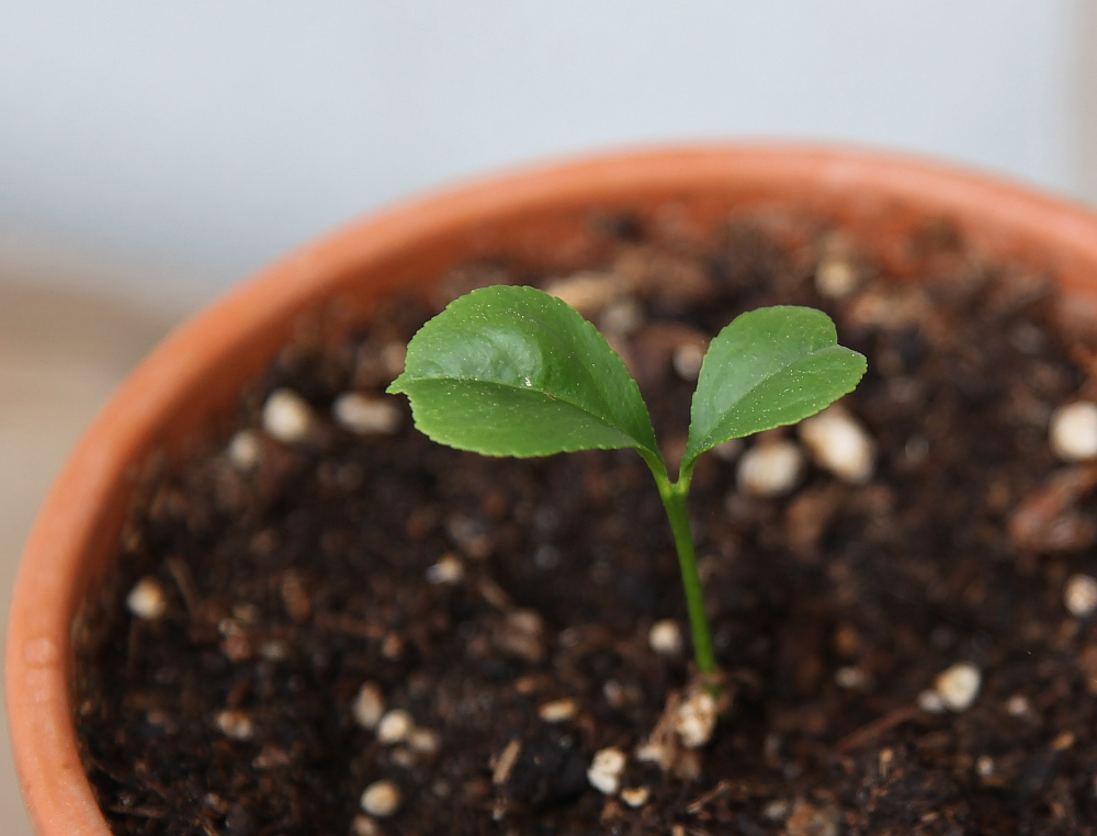 lemon tree seedling images galleries
