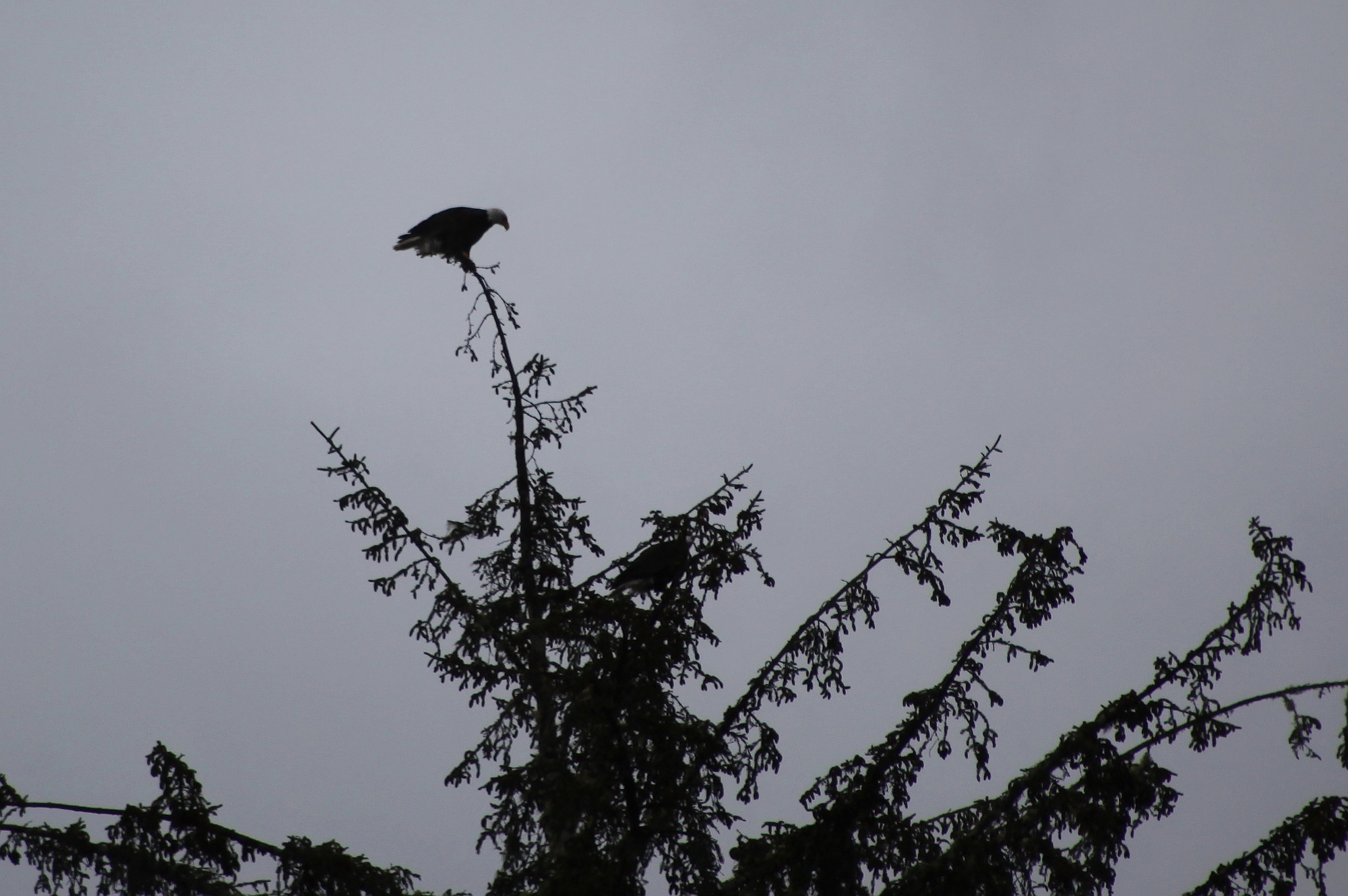 bald_eagle_pair_1