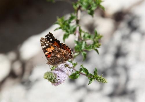 butterfly_mint_0