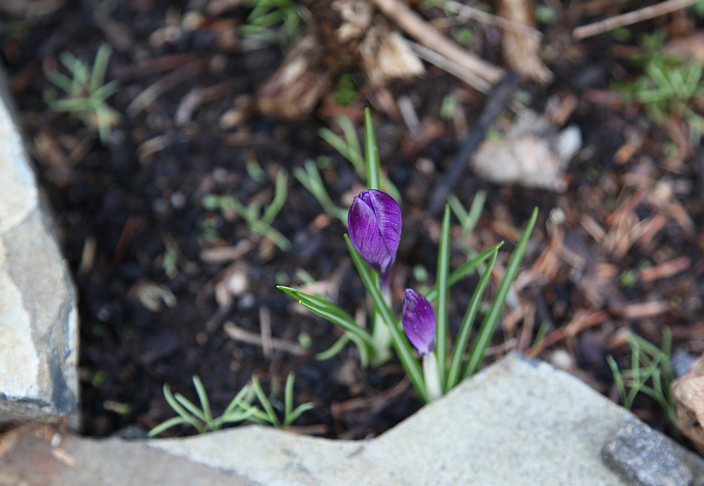 crocus_feb23