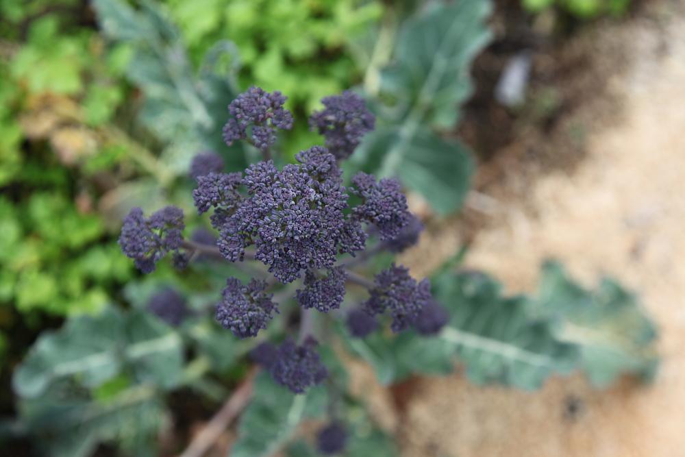 purple_broccoli