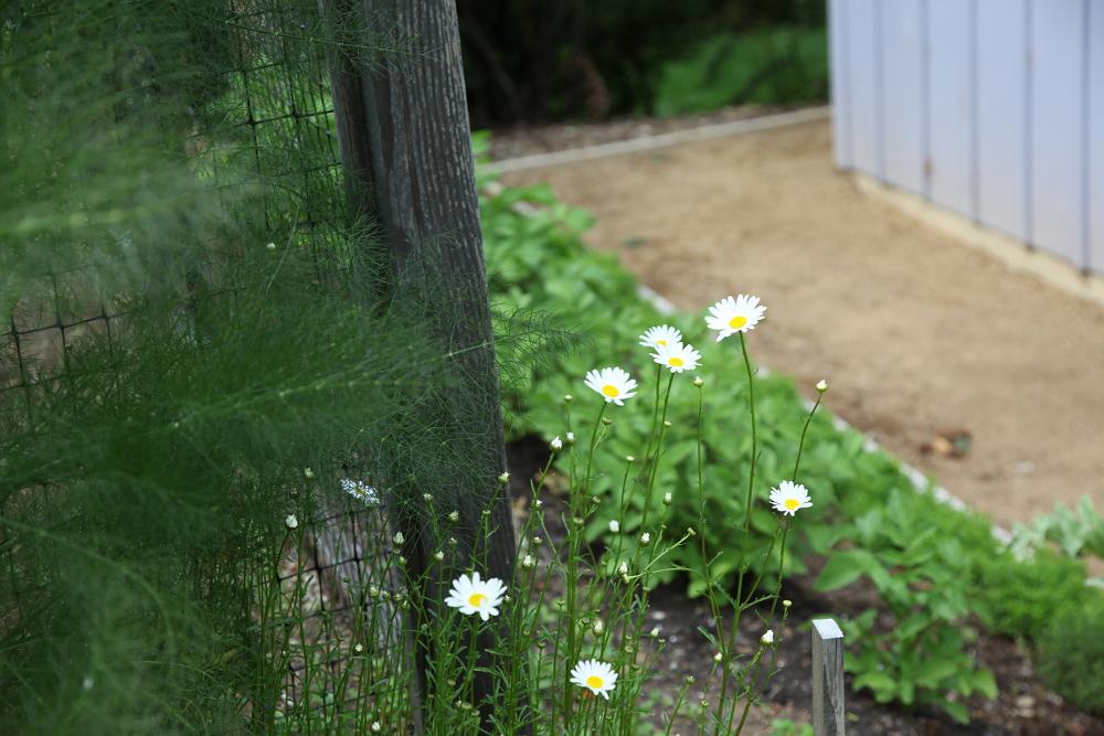 june_weekend_daisies