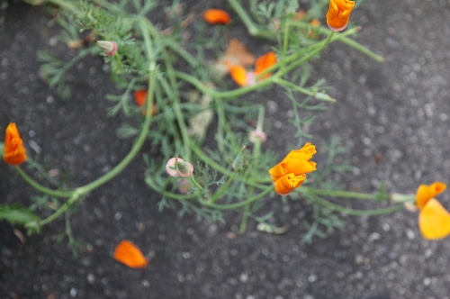poppies_on_asphalt