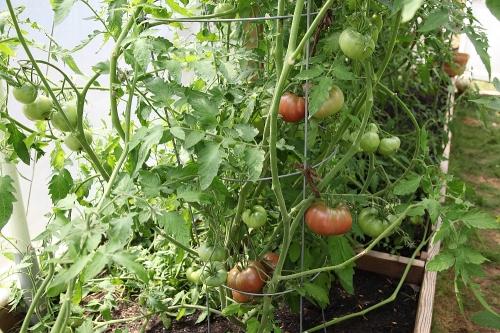 tomatoes_aug11