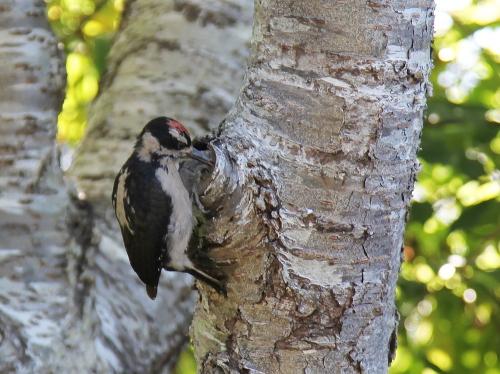 woodpecker_0