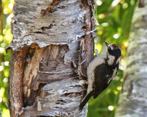 woodpecker_1