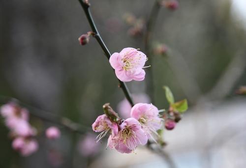 feb25_apricot_blossom_0
