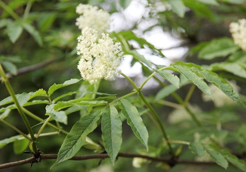 elderflower_april