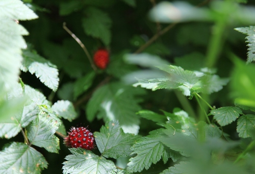 sunday_drive_6_salmonberry_0