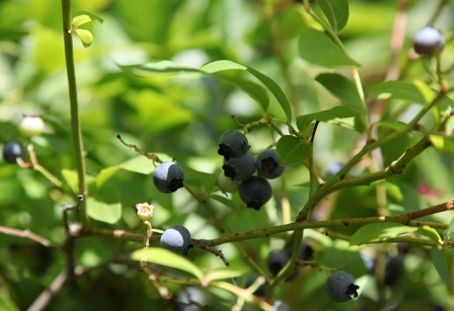 backyard_berries_1