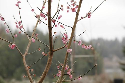 apricot_blossoms_0a