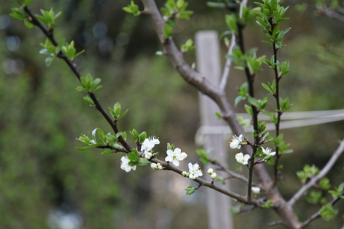 plum_march31