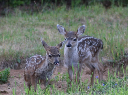 fawns_0