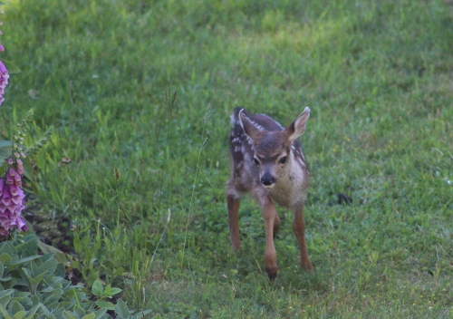 fawns_june4_9c