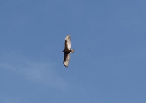 vulture_0