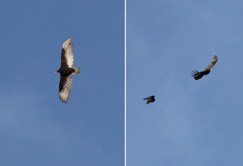 vulture_crow_diptych_0