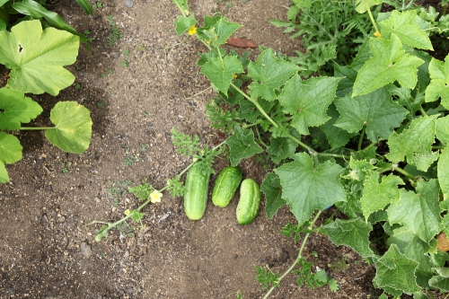 cucumbers_august10