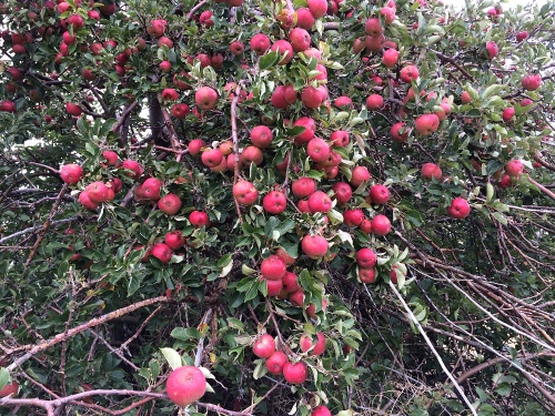 apples_0