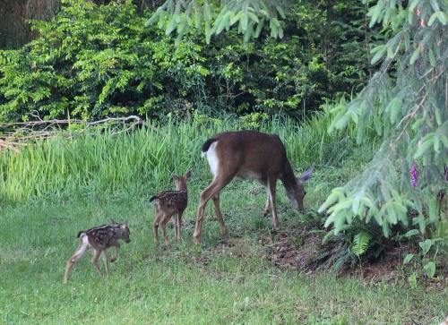 fawns_1